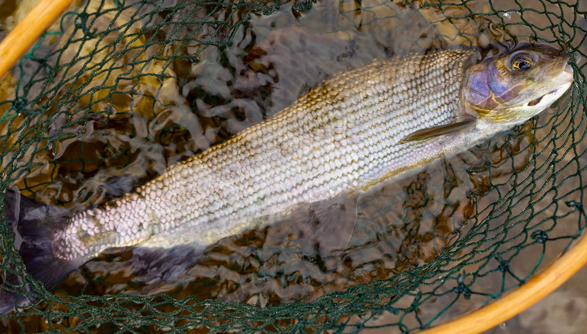 Wharfedale Grayling Fishing